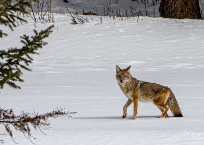 Coyote Winter Scene