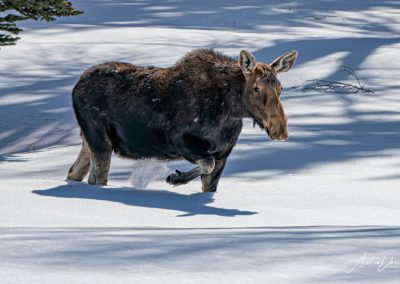 Moose on the Move Jackson Hole