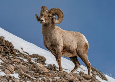 Proud Bighorn Sheep