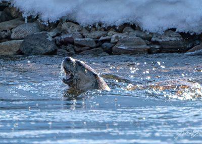 Snake River Otter Jackson