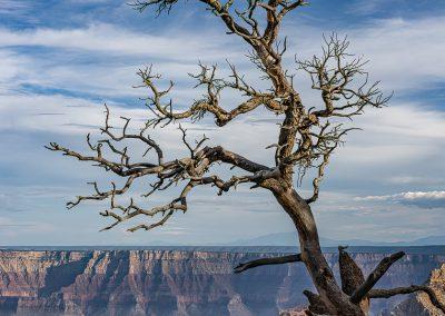 Tree at Walhala Overlook North Rim